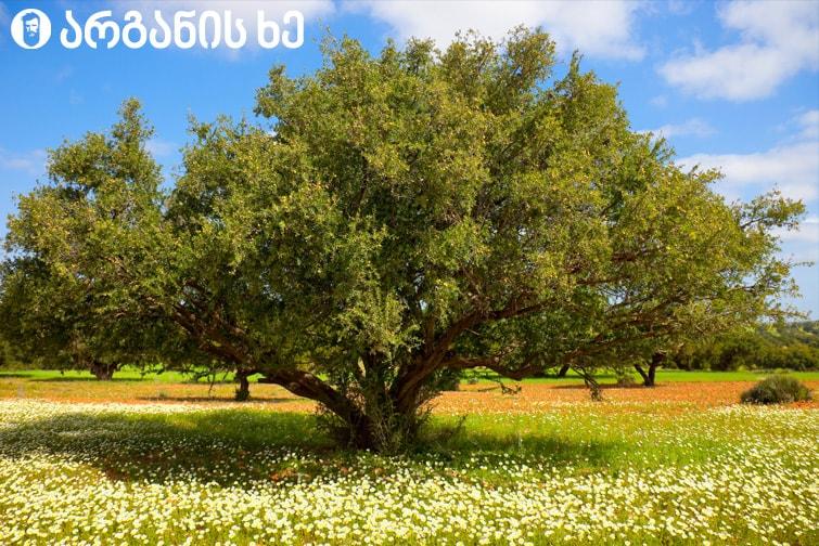 არგანის ხე რომლის ნაყოფისგანაც მზადდება არგანის ზეთი