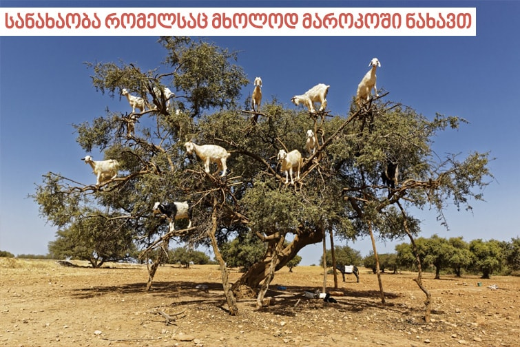 თხა არგანის ხეზე მიირთმევენ არგანის ნაყოფს